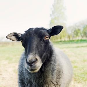 Lammen